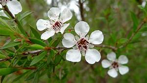 Common Tea-tree flower | Flickr - Photo Sharing!