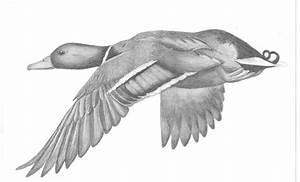 Mallard Duck Drawing
