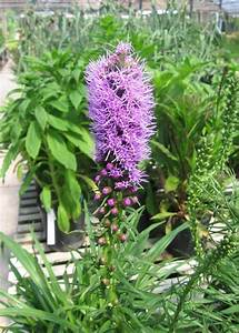 Liatris Spicata Kobold : liatris kobold tree top nursery landscape inc ~ Watch28wear.com Haus und Dekorationen