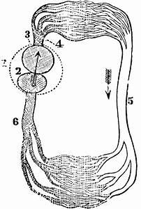 Circulation Of A Fish