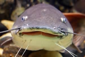Different Types Catfish Species