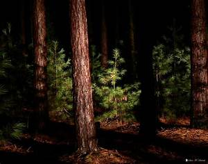 Panoramio - Photo of Bald Eagle Forest - Night, Pine Tree ...