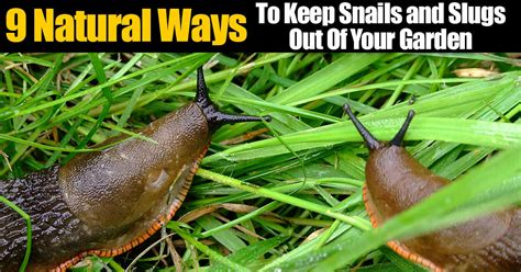 how to kill slugs 9 natural ways to keep snails and slugs out of your garden