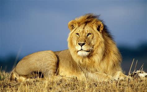 african lion wallpaper big cats animals wallpapers  jpg