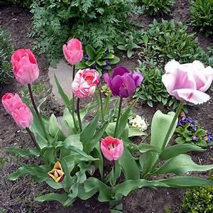 Tulpen Im Garten : freude an den ersten fr hlingsboten heimwerker ~ A.2002-acura-tl-radio.info Haus und Dekorationen