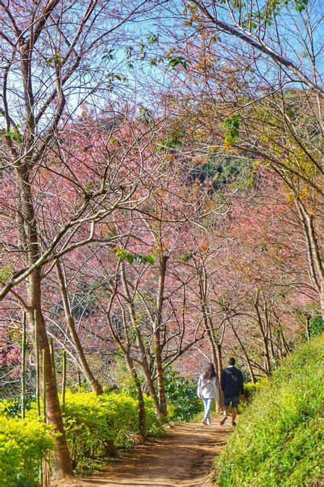 Telat Datang Bulan 3 Minggu Lihat Sakura Di Chiang Mai Thailand Pergidulu Com