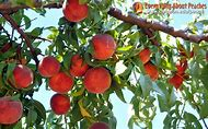 South Carolina Peach Tree