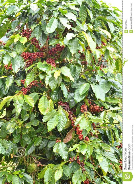 Overall appearance and grain pattern similar to ash or oak. Fresh Coffee Bean On Tree Stock Images - Image: 36932544
