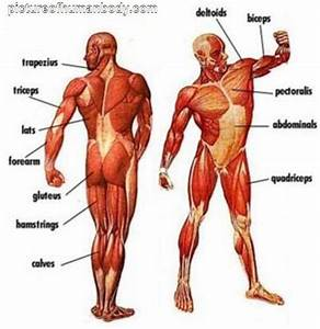 Unlabeled Muscular System Diagram Muscular System Diagram