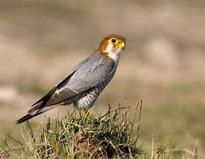 Red-necked falcon - Wikipedia  Falcon