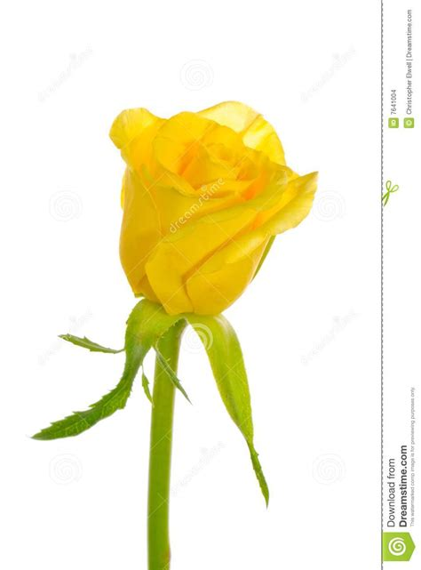single yellow rose stock images image