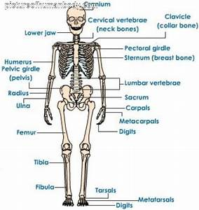 Human Skeleton Diagram For Kids | pictureofhumanbody.com