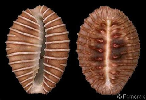 Almond amaretto coffee bean flavor. 1000+ images about Triviidae on Pinterest