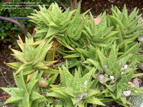 succulent plant identification images succulent plant identification car interior design