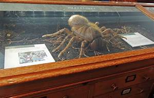 Displaying 20> Images For Biggest Spider In The World ...