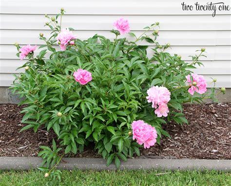 peony planting pink peony bush