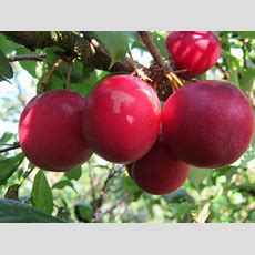 Buy Mirabelles And Other Fruit Trees From Carrob Growers