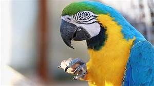 Blue Yellow Macaw Parrot. Blue Golden Macaw Parrot. Ara ...