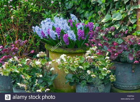 growing hellebores in containers mixed hyacinths in pots with hellebores against an ivy covered wall stock photo royalty free