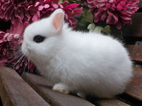 29 best about hotot rabbits rabbits for sale rabbit and rabbit breeds