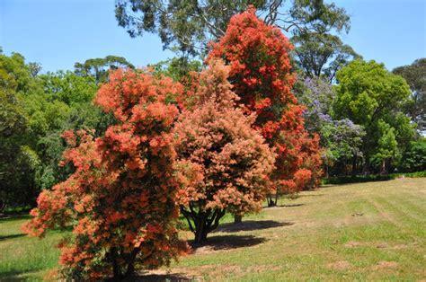 panoramio photo of australian christmas bush