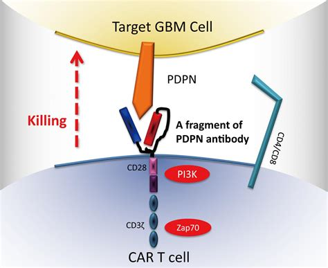 Genetically Engineered Immune Cell Therapy Found To Boost