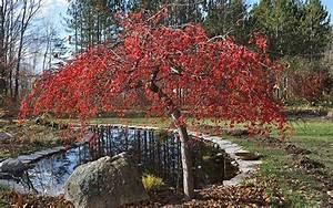 Red Jade Crabapple