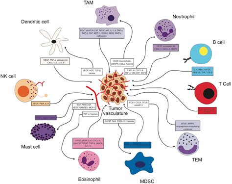 The Impact Of The Immune System On Tumor