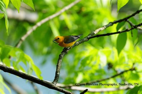 prothonotary warbler state  tennessee wildlife