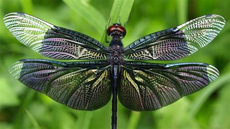 Dragonfly Images Wallpapers (51 Wallpapers)
