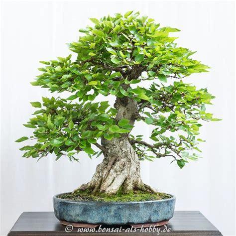 bonsai arten indoor koreanische hainbuche als bonsai bonsai bonsai pflanzen bonsai y bonsai baum