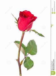 Single Red Rose Stock Photography - Image: 23185242
