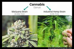Hemp Flower Vs Marijuana  The Difference Explained