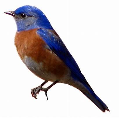 Birds Bluebird Western Clipart Sparrow Bird Mountain