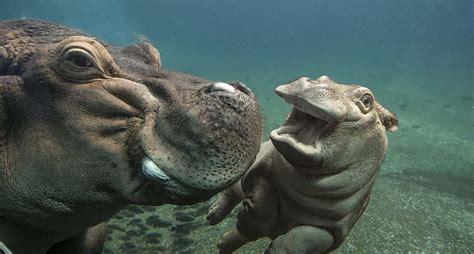 siege hippopotamus hippo san diego zoo animals plants