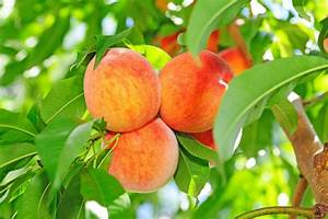 How to Prune a Peach Tree: Step by Step Guide