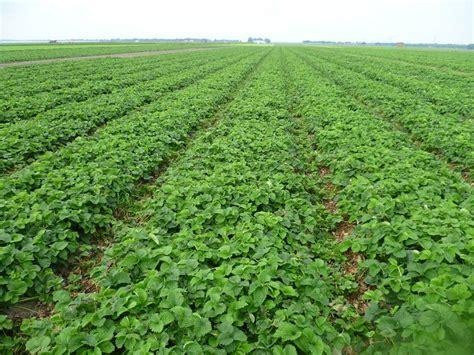 Stādīšanas, audzēšana, elites zemeņu stādu vākšana ...