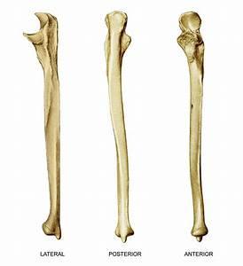 Upper  U0026 Lower Limb Bones At Johnson County Community
