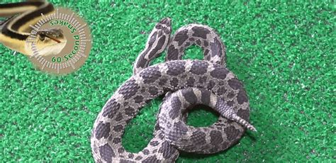 michigans  venomous snake   eastern massasauga