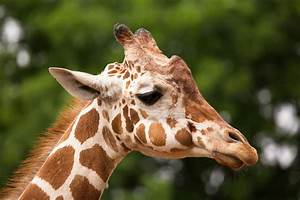 Does Every Giraffe Have Their Own Pattern of Spots ...  Giraffe