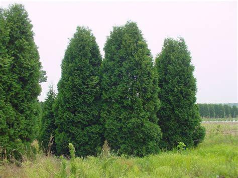 arborvitae trees tree free wallpaper arborvitae tree