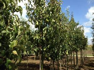 Appelbomen ( appelboom ) kopen