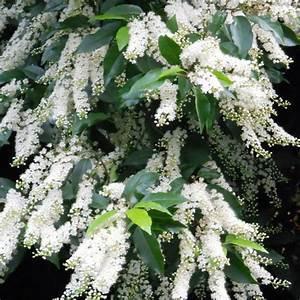 Arbres A Pousse Tres Rapide : arbre feuillage persistant liste ooreka ~ Premium-room.com Idées de Décoration