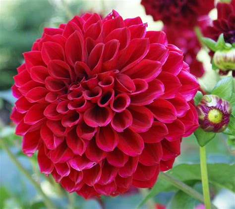 dahlia pic flower homes dahlia flowers