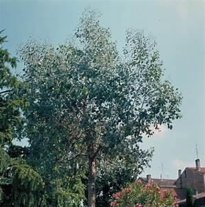 Eucalyptus En Pot : eucalyptus gunnii arbres d 39 ornement ~ Melissatoandfro.com Idées de Décoration