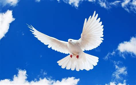 Peace White Dove Flying In Blue Sky And Photo