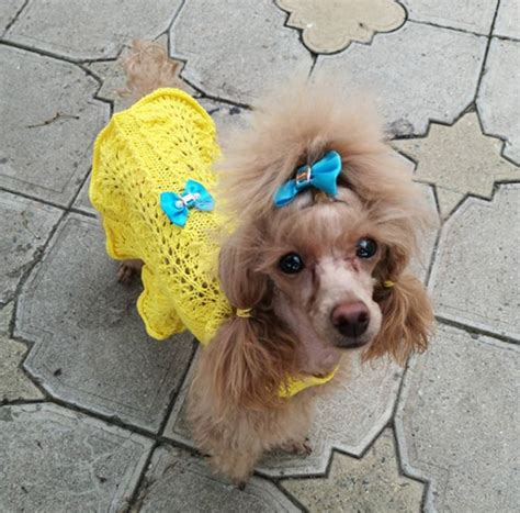 50beautiful Female Poodle Dog Names Pupstoday