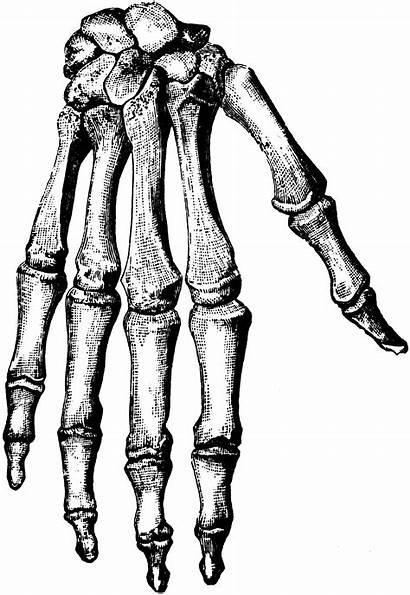 Hand Bones Bone Clipart Skeleton Hands Drawing