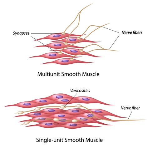 The muscular walls of your intestines contract to push food through your body. The Muscular System: How We Move Around - Interactive Biology, with Leslie Samuel