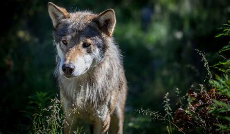 eurasian wolf facts size diet habitat information